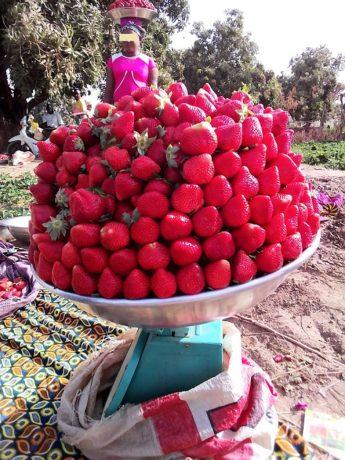 « La cueillette se fait chaque trois jour. Et à chaque cueillette, même le producteur le plus modeste peut récolter au moins entre 50 et 70 kg de fraises par jour » (Noufou Ouédraogo)