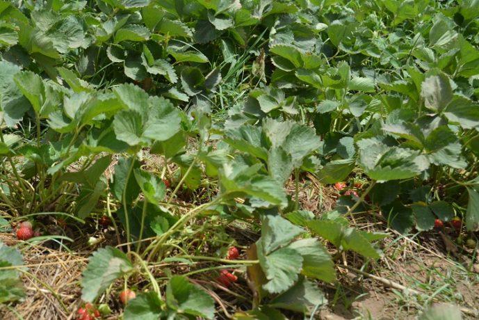 « Pour avoir un bon rendement, le producteur doit être très attentif et observer l'évolution des plants. Il doit savoir à quelle période il faut biner ou mettre le fumier » (Boukaré Zongo)